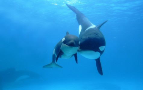 Speaking out for the Orcas